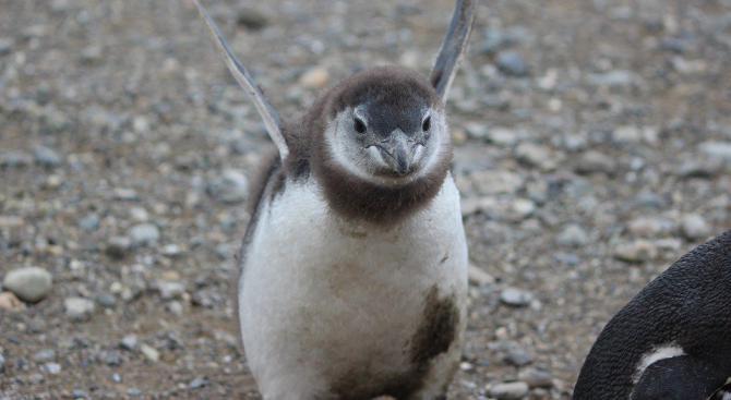 Хиляди пингвини са намерени мъртви по новозеландското крайбрежие