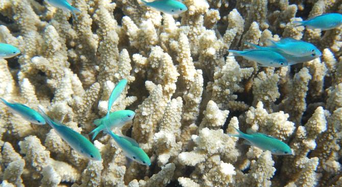 """Корали от Големия бариерен риф - """"сготвени"""" до смърт"""