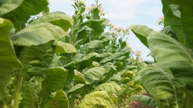 50% от жителите на тютюнопроизводителни родопски села работят в чужбина