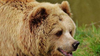 6 са нападенията от мечки в Смолянско от началото на годината