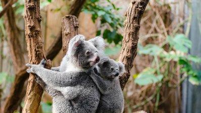 Австралия дава 28,4 млн. евро за спасяване на коалите