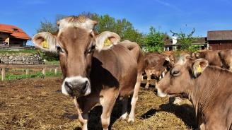 Гушкането на крави може да се превърне в следващата модна терапия
