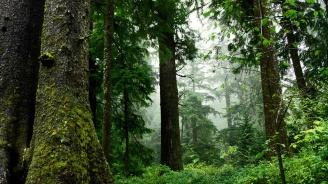 Италиански бор е най-старото дърво в Европа
