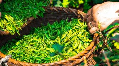 Превърнаха екстракт от зелен чай в противораково лекарство