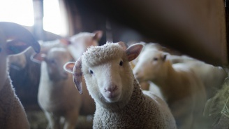 Спипаха четирима с крадени овце в багажника на колата