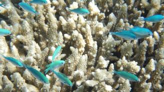 """Големият бариерен риф е преживял пет """"смъртоносни събития"""""""