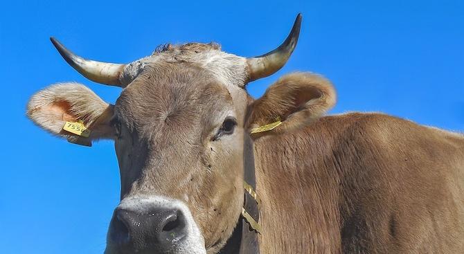 Приспиват бременната крава, пресякла незаконно границата ни със Сърбия