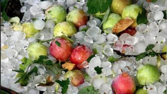 Тотални поражения нанесе градушка върху ябълките в Кюстендилско, застрахователи отказват да изплащат обезщетения