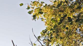 Забраниха брането на липов цвят в Тетевен