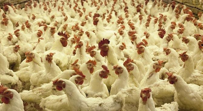 Огнище на птичи грип бе открито в Добричко