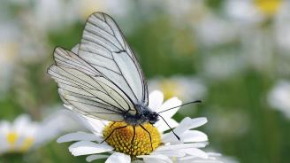 Започна обработка на дърветата срещу американска бяла пеперуда