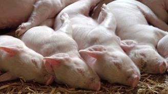 Румъния съобщава за случаи на африканска чума по свинете