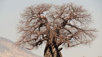 Умират хилядолетни баобаби в Южна Африка
