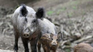 Откриха огнище на африканска чума по дивите свине около границата