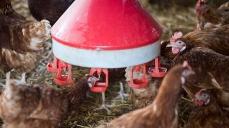 Ликвидират над 30 000 кокошки от фермата с птичи грип