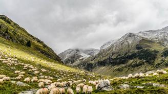 """Масово самоубийство"" на овце в Турция"