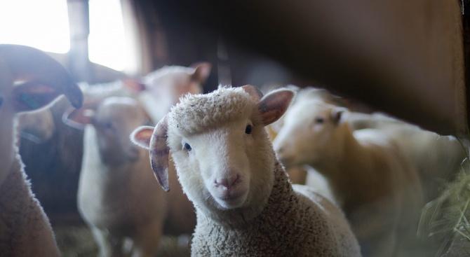Ветеринари откриха чума по овце в Ямболско. Болестта плъзна по