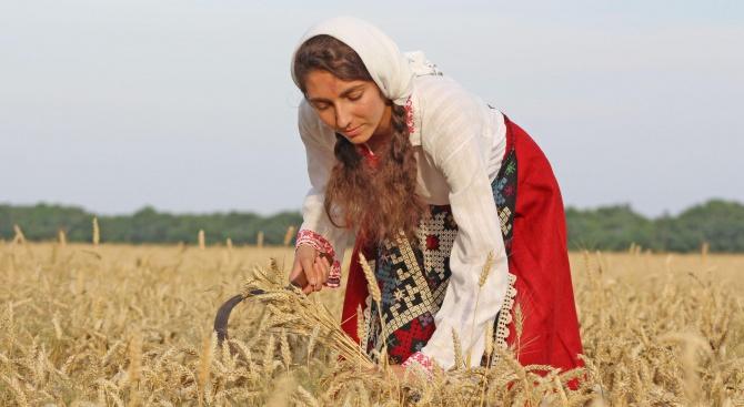 Комбайните на земеделските производители от община Балчик влязоха в пшеничните