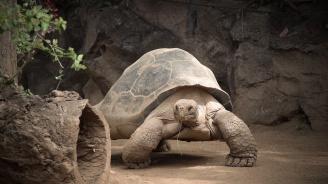 Стогодишна костенурка избяга от къщи със скорост 0.0097 км/час