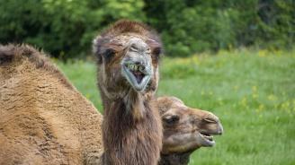 Бясна камила живее в русенско село и плюе всички наред