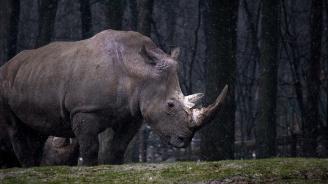 """Изпратиха носорог от Единбург в Индонезия на """"любовна експедиция"""""""