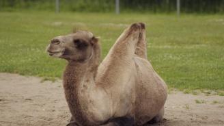 Двугърба камила е най-новият обитател на Столичния зоопарк