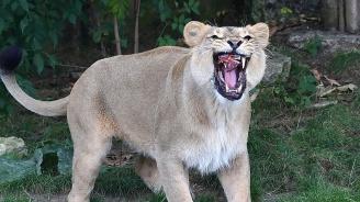 Лъвица избяга от клетката си в Белгия. Застреляха я