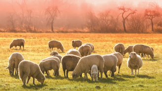 БАБХ: Чума по дребните преживни животни за първи път на територията на ЕС