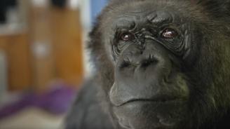 Почина горилата Коко, която  владееше жестомимичния език (видео)