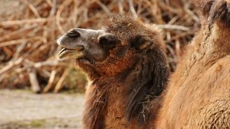 Камилата Леми  - новото попълнение на зоопарк София
