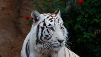 Умря Попси - последният бял тигър в зоопарка в Синсинати