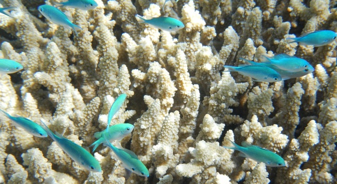 Големият бариерен риф е застрашен от масово избелване на коралите на всеки две години