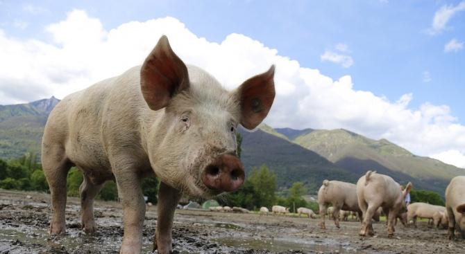 Проверяват ударно свинефермите заради опасността от африканска чума