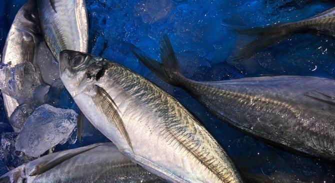 Сафридът -  най-търсената риба по бургаските пазари