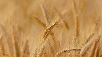 Хлебното зърно, прибрано преди дъждовете, поскъпва