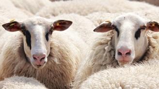 Овцевъди и козевъди получават близо 9,4 млн. лева държавна помощ