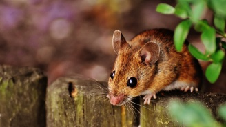 Мишките и плъховете трудно се отказват от дадена кауза