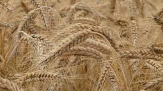 Зърнопроизводители от Сливен прогнозират по-ниски добиви на пшеница