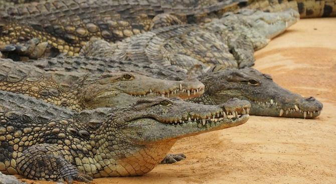 Индонезийци убиха близо 300 крокодила заради разкъсан човек