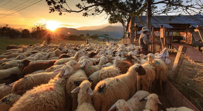 МЗХГ: Животновъдни организации ще дарят животни на колегите си от засегнатите от чума по дребните преживни животни райони в Странджа