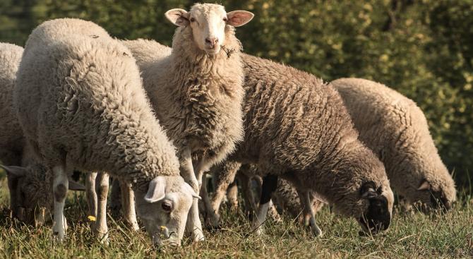 Овцевъди и козевъди ще протестират пред сградата на Министерски съвет.