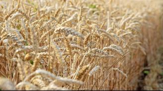 Очакват се по-ниски добиви от пшеница в Ямболска област