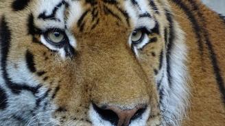 Тигри и лъв избягаха от чешки зоопарк, хванаха ги