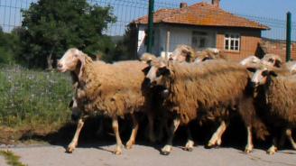 От БАБХ разкриха вероятната причина за чумата по животните