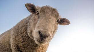 """Увеличиха на 15 лв. помощта """"де минимис"""" за овцевъдите и козевъдите"""