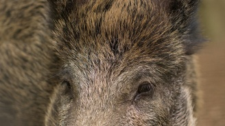 Глигани и елени унищожават посевите в Русенско