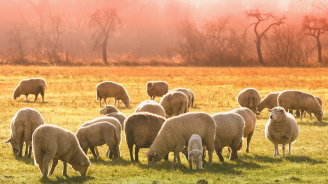 Призоваха собствениците на овцеферма в Болярово да допуснат ветеринарните власти да вземат втори проби
