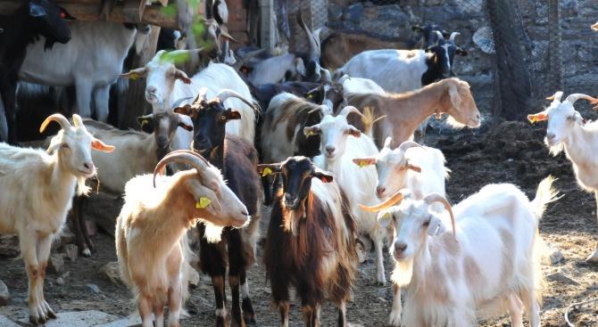 Насилствените мерки срещу болестта чума по животните в Странджанско трябва