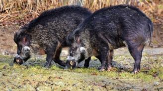 В Русенско пропищяха - диви прасета и елени опустошават нивите