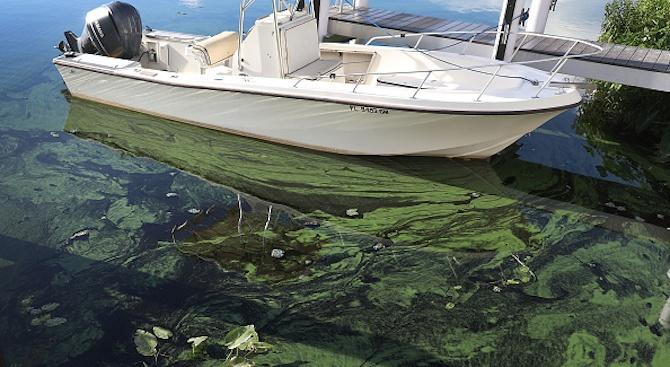 Токсични водорасли избиват рибата край бреговете на Флорида (видео)